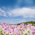 Feld field of pink flowers on the background of blue sky with clouds Royalty Free Stock Image