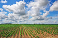 Feld of potatos and cloudy blue sky potato field with green shoots potatoes composition nature Royalty Free Stock Image