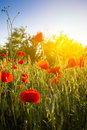 Feld von mais poppy flowers Stockfotografie