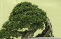 Felicitous bonsai for pleasant and ingenuity Royalty Free Stock Photos