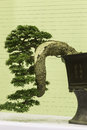 Felicitous bonsai for pleasant and ingenuity Royalty Free Stock Images