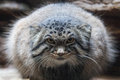 Felis manul a in zoo Stock Images