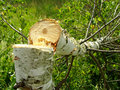 Felled birch Stock Photography