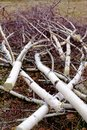 Felled birch branches Royalty Free Stock Photo