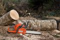 Felled birch tree chainsaw ready to work Stock Photo
