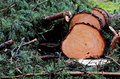 Felled pine tree in the forest horizontal Royalty Free Stock Images