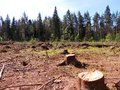 Felling of spruce forest karelian isthmus Royalty Free Stock Photos