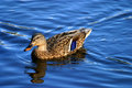 Femail mallard duck on water Royalty Free Stock Photo