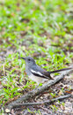 Femal Oriental Magpie Robin (Copsychus saularis) bird Royalty Free Stock Images