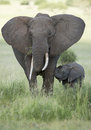 Female African Elephant with long tusk (Loxodonta africana) with Stock Photos