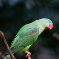 Female alexandrine parakeet green bird a psittacula eupatria back profile Royalty Free Stock Photos