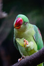 Female alexandrine parakeet green bird a psittacula eupatria eating some grape on a branch Royalty Free Stock Image