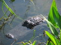 Female Alligator Stock Images