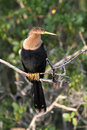 Female American Anhinga Royalty Free Stock Images