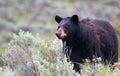Female American Black Bear [Ur...