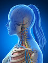 Female anatomy d rendered illustration of the Royalty Free Stock Images