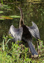 Female anhinga bird drying its outstretched open wings in the florida everglades Stock Photo