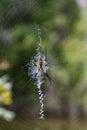 Female Argiope aurantia (Yellow Garden Spider) Royalty Free Stock Photo