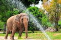 Female asian elephant showering an in zoo miami south florida Royalty Free Stock Image