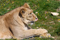 Female Asiatic lion Royalty Free Stock Photo