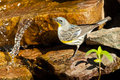 Female Audubon's Warbler Royalty Free Stock Image