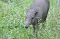 Female babirusa a walking in the grass Royalty Free Stock Image