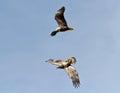 Female Bald Eagle chasing a Juvenile Royalty Free Stock Photo
