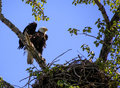 Female bald eagle watching over chicks with ruffled feathers her nest of newly hatched Stock Photo