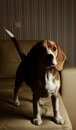 Female Beagle puppy, high contrast Royalty Free Stock Photo
