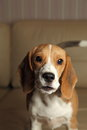 Female Beagle puppy, high contrast Stock Photos