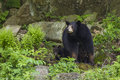 Female black bear with cubs ursus americanus Royalty Free Stock Photos