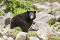 Female black bear with cubs ursus americanus Royalty Free Stock Image