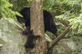 Female black bear with cubs ursus americanus Stock Images