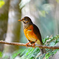 Female black breast thrush colorful bird turdus dissimillis standing on a branch profile Stock Photo