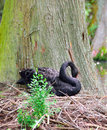 Female Black Swan Nesting Royalty Free Stock Photo