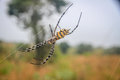 Female Black and yellow garden spider in the Selati Game Reserve. Royalty Free Stock Photo