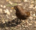 Female Blackbird Stock Photo