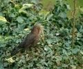 Female Blackbird Collecting Ne...