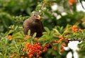 Female Blackbird Eating Berries
