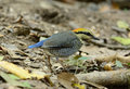 Female blue pitta pitta cyanea beautiful in the middle of thailand Royalty Free Stock Photos