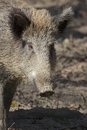 Female boar portrait closeup shot of a curious a wild european pig Royalty Free Stock Images