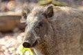 Female boar portrait closeup shot of a curious a wild european pig Royalty Free Stock Photo