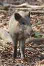 Female boar portrait closeup shot of a young a wild european pig Royalty Free Stock Photography