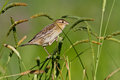 Female bobolink dolichonyx oryzivorus foraging on grass stalks Royalty Free Stock Photo