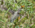 Female Broad-Billed Hummingbird feeding Royalty Free Stock Image