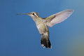 Female broad tailed hummingbird in flight Royalty Free Stock Image
