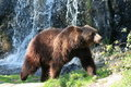 Female Brown Bear Royalty Free Stock Photography