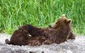 Female brown bear see my other works in portfolio Royalty Free Stock Photography