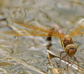 Female Brown Hawker Dragonfly ovipositing Stock Photos