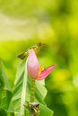 Female brown throated sunbird anthreptes malacensis with banana flower Royalty Free Stock Photos